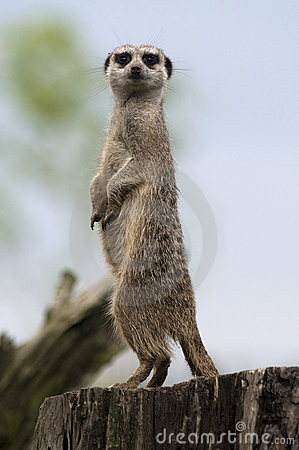 Free Meerkat Stock Photography - 13782322