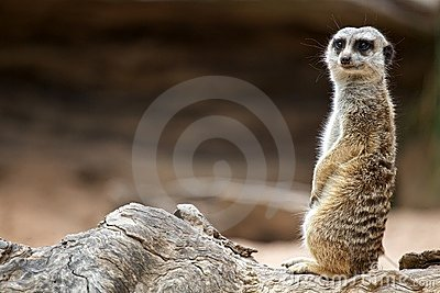 Meerkat Standing and Watching
