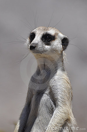 Free Meerkat Royalty Free Stock Photography - 14687357