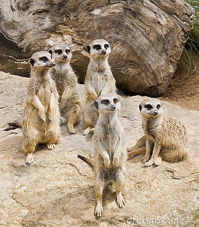 Free Meerkat Stock Images - 14859644