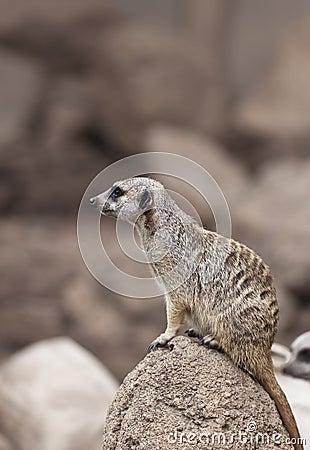 Free Meerkat Stock Images - 20401694