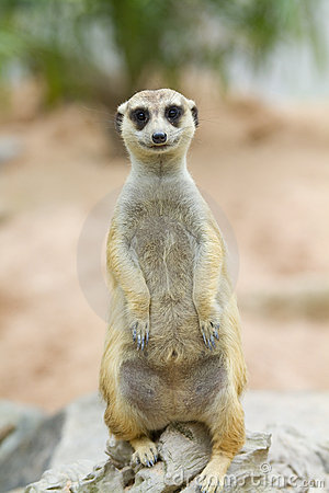 Free Meerkat Royalty Free Stock Photography - 21141647