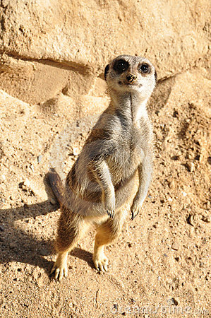 Free Meerkat Stock Photo - 21454560