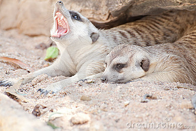 Meerkat Royalty Free Stock Photos - Image: 22885638