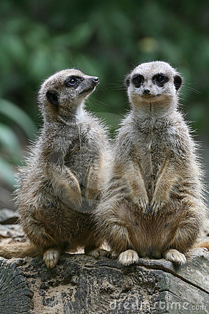 Free Meerkat Stock Photography - 2315052
