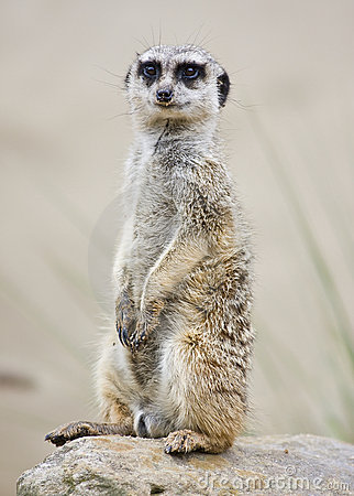 突出的meerkat挺直