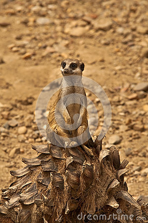 Free Meerkat Royalty Free Stock Images - 24672759