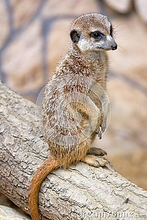Πορτρέτο Meerkat