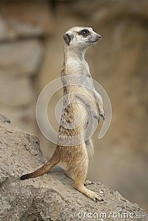 Free Meerkat Royalty Free Stock Images - 26804729