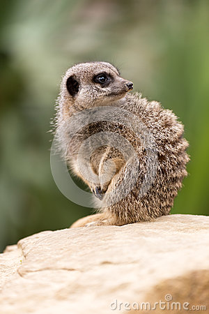 Free Meerkat Royalty Free Stock Photography - 28019077