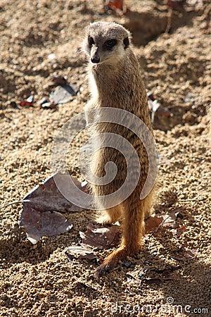 Free Meerkat Royalty Free Stock Image - 36738336