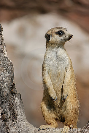 Free Meerkat Royalty Free Stock Photo - 4796165