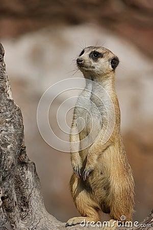 Free Meerkat Royalty Free Stock Photos - 4796238