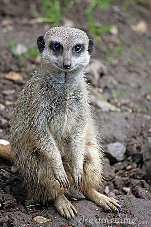 Free Meerkat Royalty Free Stock Photo - 7899275