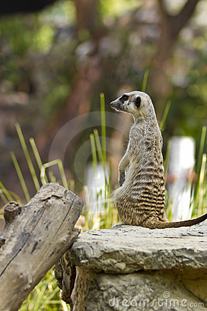 Meerkat in Bangkok zoo