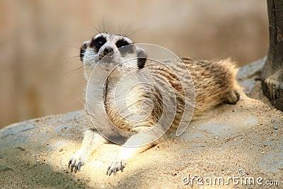 Meerkat, Bangkok zoo