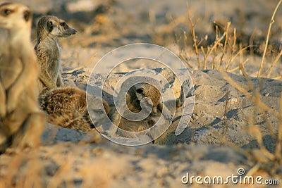 Meerkat checks himself out