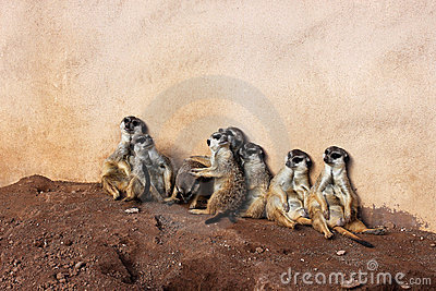 Meerkat clan in Palmitos Park, Gran Canaria, Spain