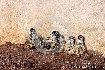 Meerkat clan in Palmitos Park, Gran Canaria, Spain
