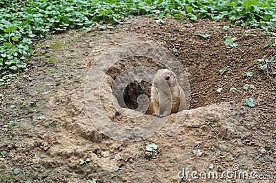 Meerkat dans le sable