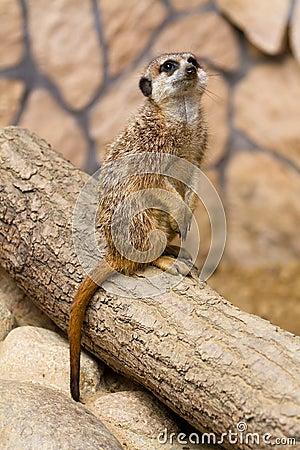 Meerkat dans le zoo
