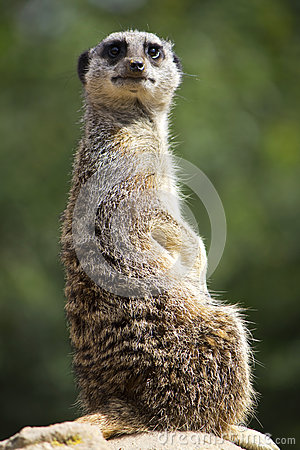 Meerkat facing forward