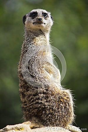 Meerkat facing forward
