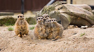 Meerkat Family - Odd one Out