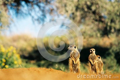 Meerkat suricate family, Kalahari, South Africa sunbathing