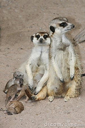 Free Meerkat Family With Young Babies Stock Images - 8303464
