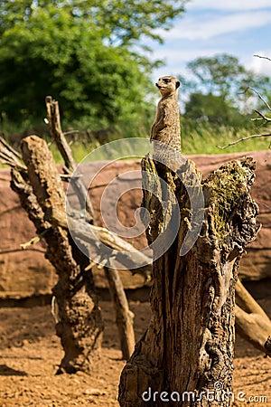 Meerkat Guard