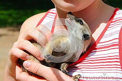 Meerkat in hands