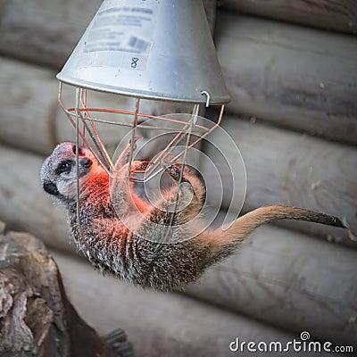 Meerkat hanging on heater