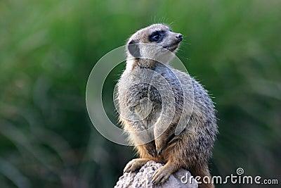 Meerkat on his watch