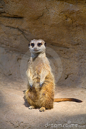 Meerkat hopeful (Suricata)