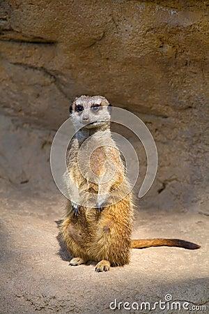 Meerkat hopeful (Suricata)