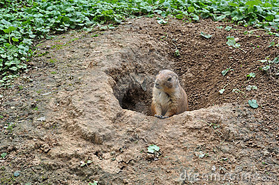 Meerkat im Sand