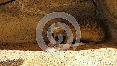 Meerkat je białej myszy zbiory
