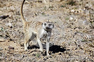 Meerkat in Kalahari