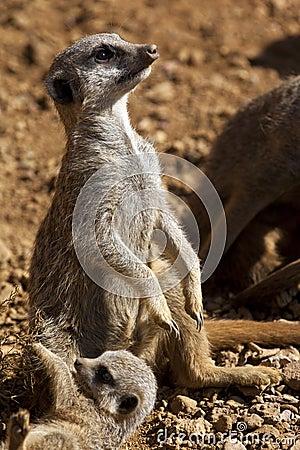 Meerkat - Kalahari Desert - Botswana
