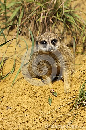 Meerkat laying in the sand and looking at you