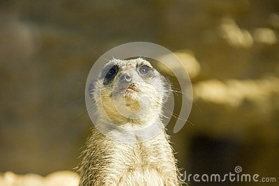 Meerkat looking nosy