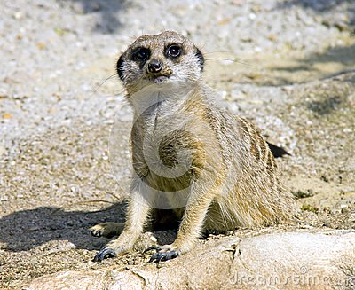 Meerkat Predator Mangustov Mammal Savannah Claws Stock Photo ...