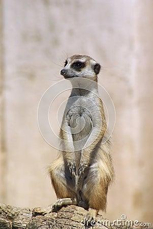 Meerkat mongoose suricata suricate