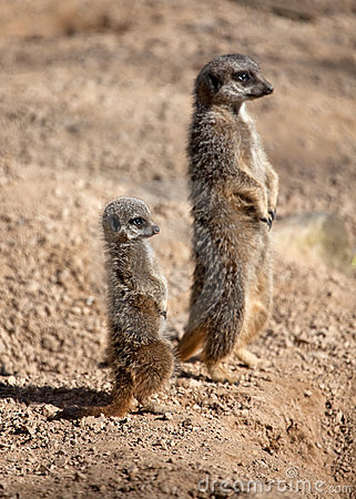 Free Meerkat Mother And Baby Stock Image - 18679361
