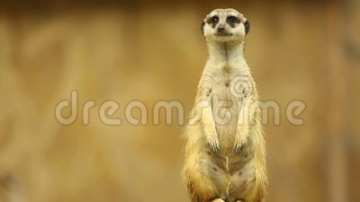 Meerkat na strażniku