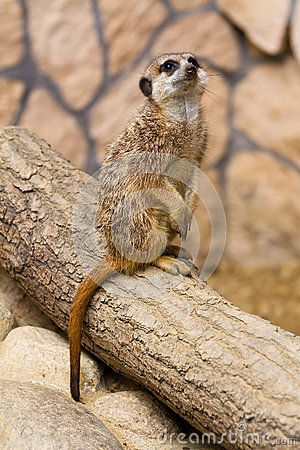 Meerkat nel giardino zoologico