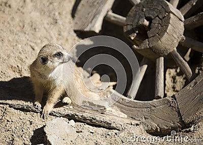 Meerkat of the Old West