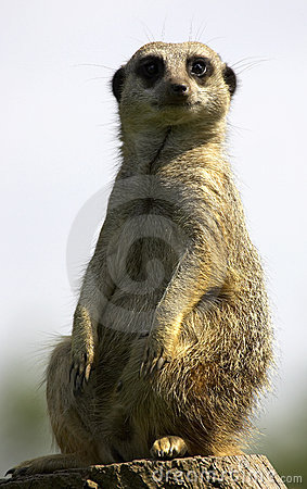 Free Meerkat On Duty Royalty Free Stock Photo - 207135