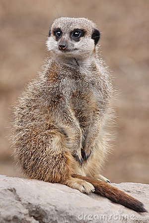 Free Meerkat On Guard Stock Photo - 15568160